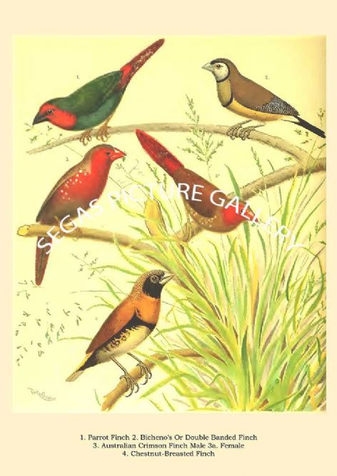 Fine art print of the Parrot Finch, Double Banded Finch, Australian Crimson Finch Male & Female, Chestnut-Breasted Finch  by the artist William Rutledge (1878)